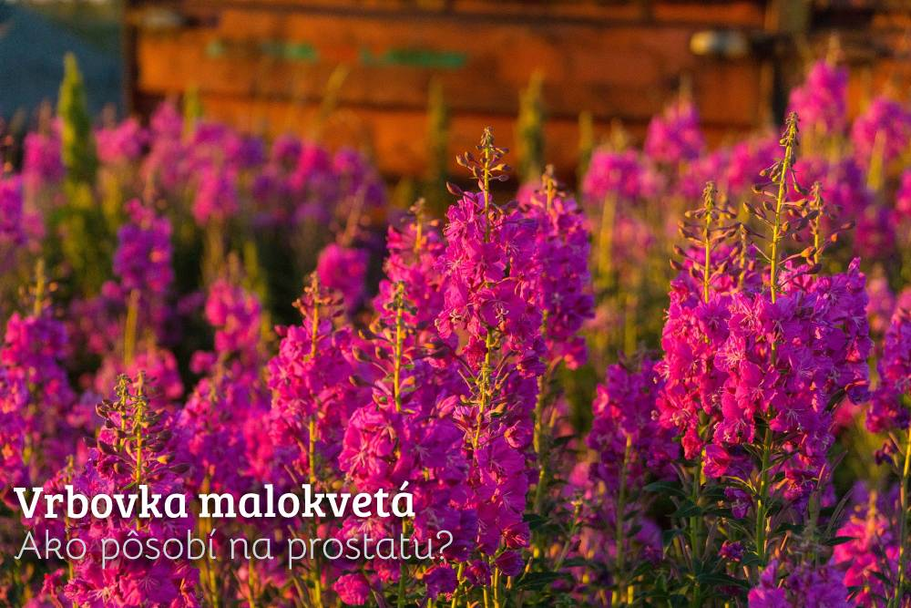 vrbovka malokvetá
